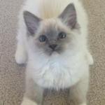 Sophie – Ragdoll Kitten of the Month