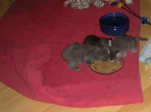 Ragdoll Cat Eating Cat Food