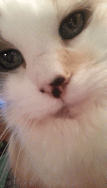 Pearly - Ragdoll of the Week 8