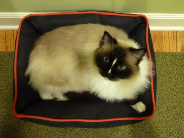 Petmate Dogzilla Rectangular Lounger Pet Bed Product Review birds eye with Ragdoll Cat Charlie