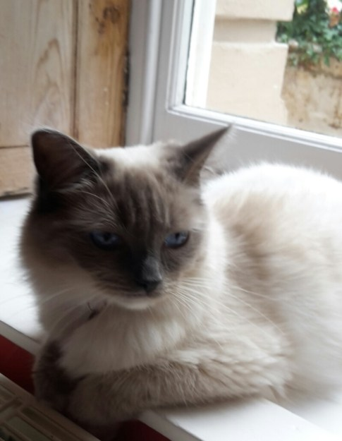 Skye - Ragdoll of the Week