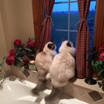 Ash and Addie's Ragdoll Cat Rehoming Story