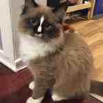Diego – Ragdoll Kitten of the Month