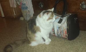 Apollo - Ragdoll Kitten of the Month 6