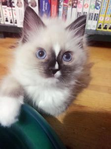 Floppycats.com Published by Jenny Dean Page Liked · 7 mins · Evie - Ragdoll of the Week