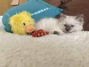 Jeter - Ragdoll Kitten of the Month Toys