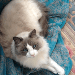 Star – Ragdoll of the Week