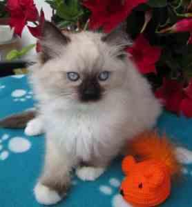 Tallulah - Ragdoll Kitten of the Month2