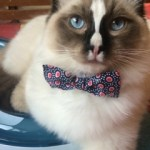 Finley – Ragdoll Kitten of the Month