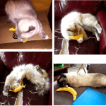 Winners of the March 2016 Yeowww! Catnip Banana Giveaway in Honor of Rags Report Back