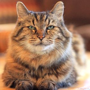 Corduroy - Guinness World Records Oldest Living Cat - Interview with Corduroys Mom Photo taken by Jodi Schneider McNamee 11-2015