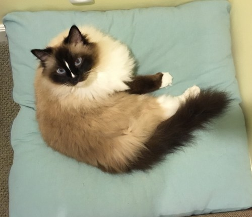 Peach Pet Provisions Pet Pillow Bed Ragdoll Cat Charlie on