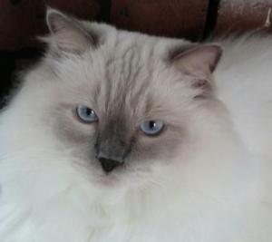 Ragdoll cat reacts to benadryl injection
