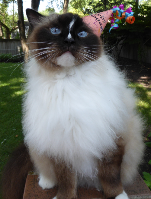 Charlie 7 Birthday Ragdoll Cat July 23 2016 2