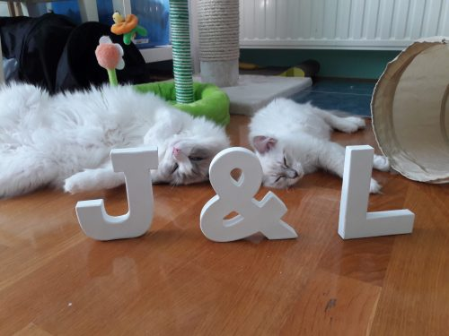 Jeremy - Ragdoll of the Week (8)