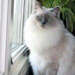 Gracie – Ragdoll of the Week