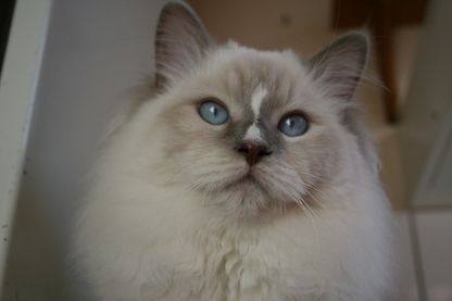 Eragon of Angel Girls Ragdoll Cattery - lilac mitted with blaze