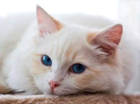 Gizmo - a Cream Colored Bicolor Ragdoll