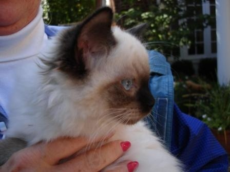 Angelkissed Ragdolls Coco
