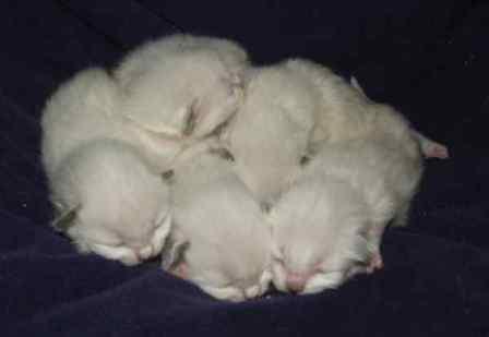Furrballz Ragdolls 1 Week Old Ragdoll Kittens