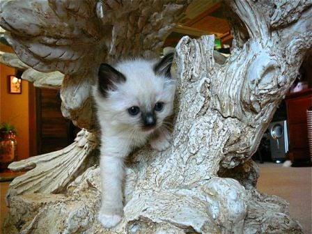 Ragdoll Kitten Angelkissed Ragdolls