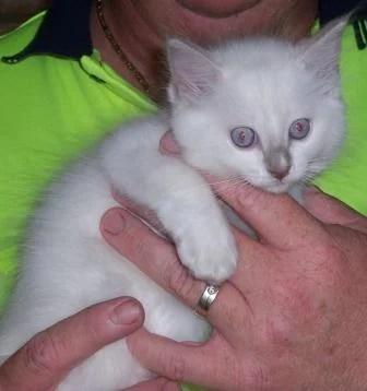 Lilac Ragdoll Kitten GUYSNDOLLS Ragdolls