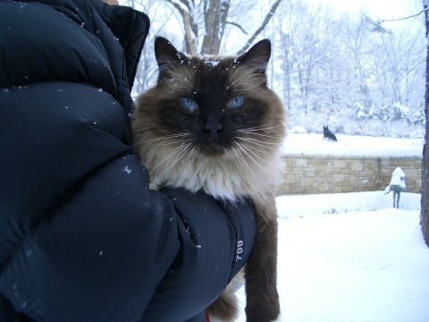 Rags, a Seal Mitted Ragdoll in the snow