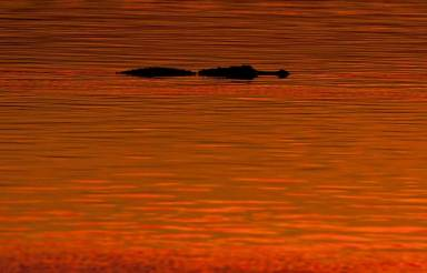 An alligator at sunset at Circle B Bar Reserve, Lakeland, Fl. Photo by Matthew Paulson, PhotoMatt28 via Flickr.