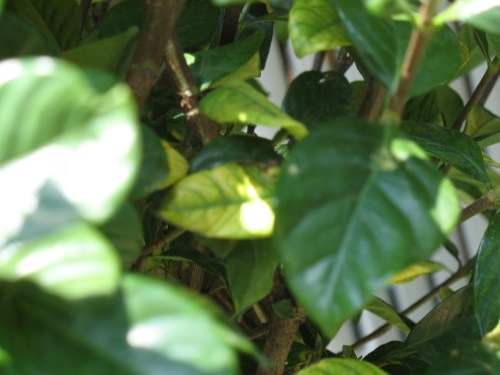 Medium Of Gardenia Yellow Leaves