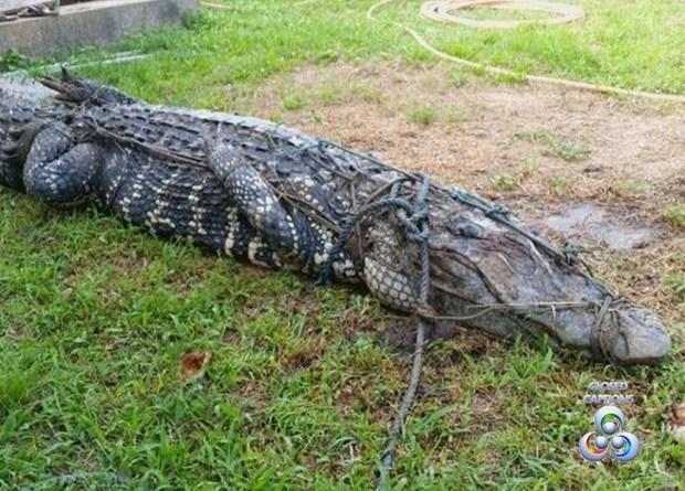 Animal permanece imobilizado até a visita de técnicos do Ibama (Foto: Reprodução/TV Amapá)