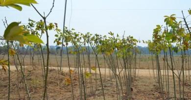 Plantio de mandioca e plantio de soja no fundo (Foto: Aritana Aguiar/Do G1 Santarém)-