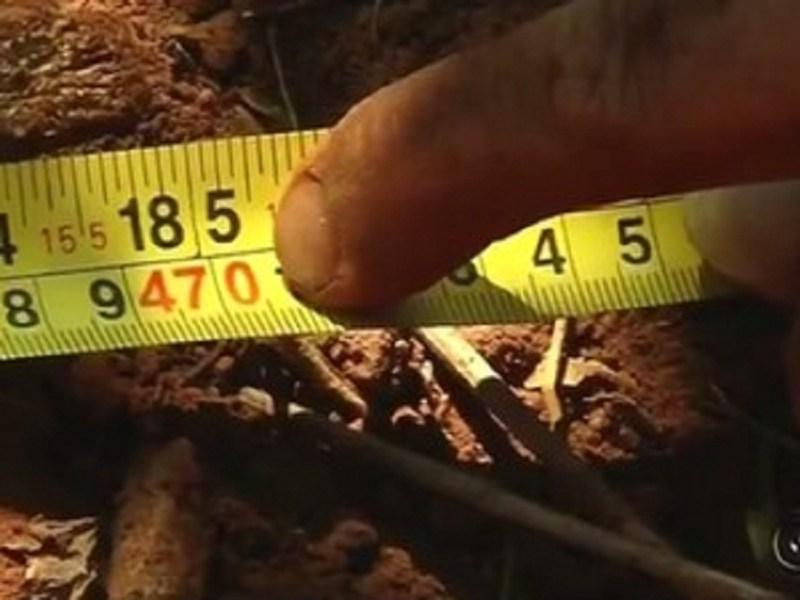 Tubérculo mediu 4,70 metros de comprimento (Foto: Reprodução/TV TEM)