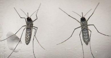 mosquito-aedes-aegypti-e-o-causador-das-tres-doencas-que-mais-alarmam-o-brasil-atualmente-zika-dengue-e-chikungunya-1455572856461_615x300