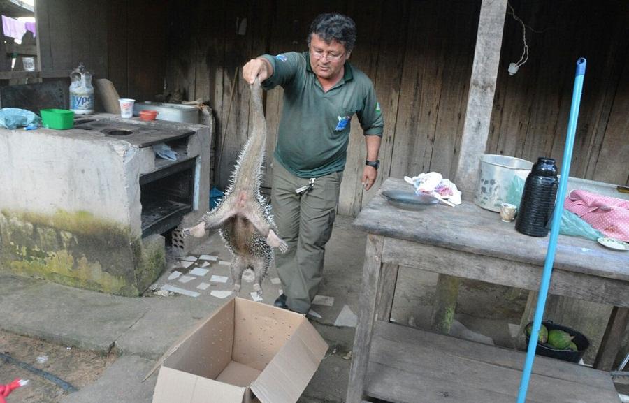SEMMA-NP e IBAMA resgatam Porco-espinho preso em parede de residência