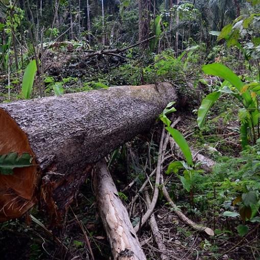 Tronco derrubado por desmatadores na Floresta Nacional do Jamanxim em Novo Progresso, Pará. (Foto: Vinícius Mendonça |Ibama) Parques de Papel