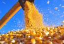 Conab faz novos leilões e mantém apoio a escoamento de 397 mil toneladas de milho em MT
