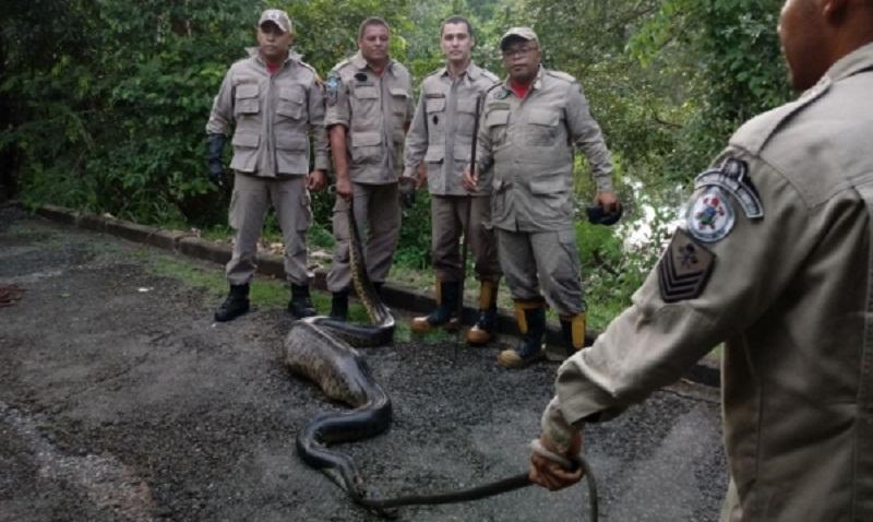 Cobra tem aproximadamente 4 metros (Foto: CBM-MT)