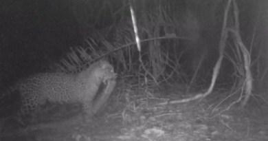 Onça carrega cobra de 3 metros na boca no Pantanal (Foto: Reprodução)