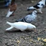 Pombos transmitem doenças infecciosas