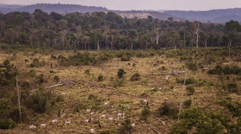 Gado na Floresta Nacional do Jamanxim, no Pará, em agosto de 2017. Foto: Bernardo Camara.