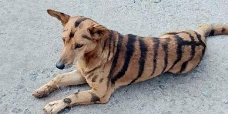 xblog-dog-tiger-india-jpg-pagespeed-ic-KazGXXSdf4