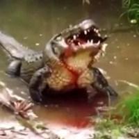 Ribeirinho é devorado por jacaré após salvar sobrinhos que se afogavam no rio