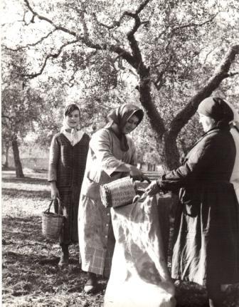Raccoglievano le ulive una per una da terra…