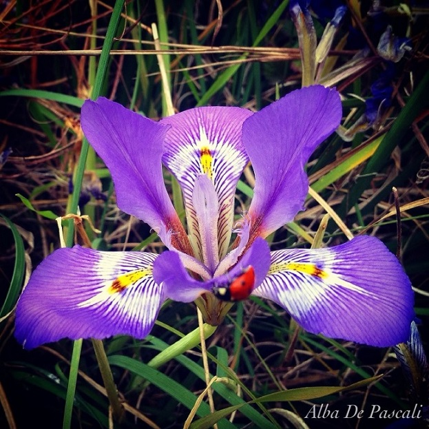 L'iris tra storia, scienza e poesia