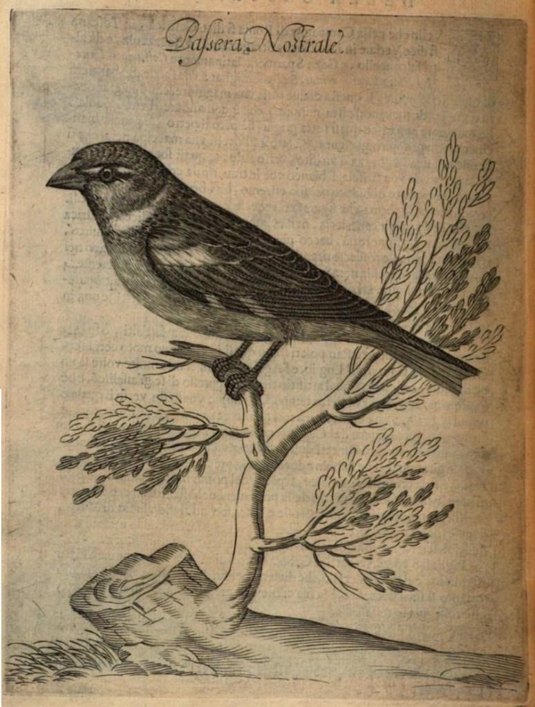 Da Giovanni Pietro Olina, Uccelliera overo discorso della natura e proprietà di diversi uccelli, Andrea Fei, Roma, 1622