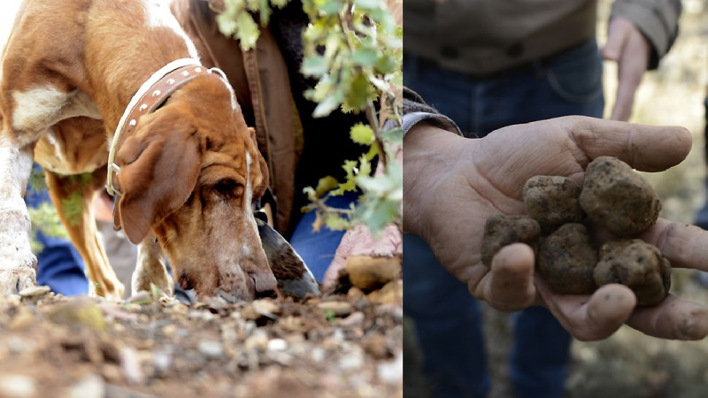Walking The Forest With A Spanish Truffle Hunter