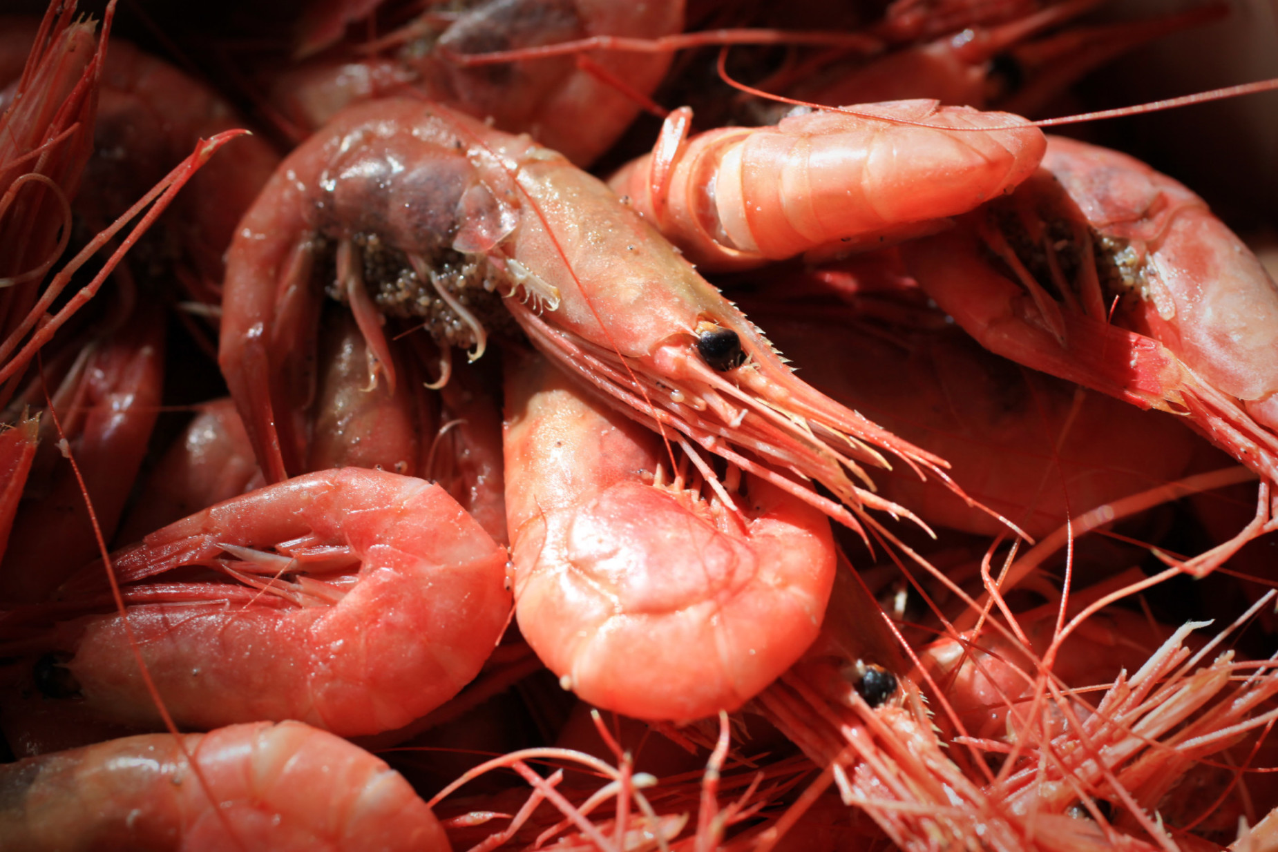 adults shrimp three Quantity for of