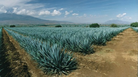 Agave-FieldsEdit