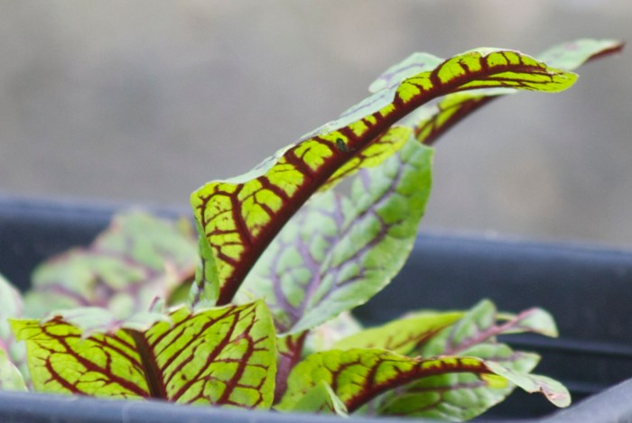 red veined sorrel by Emma Cooper
