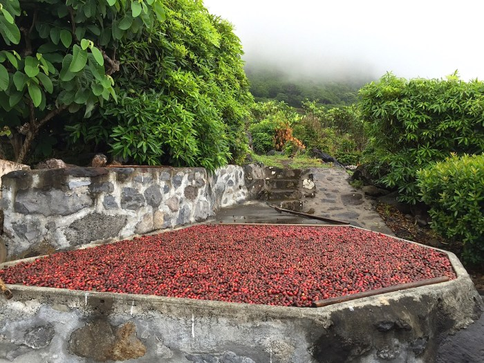 Coffee beans drying on Sao Jorge Azores Jenny Miller